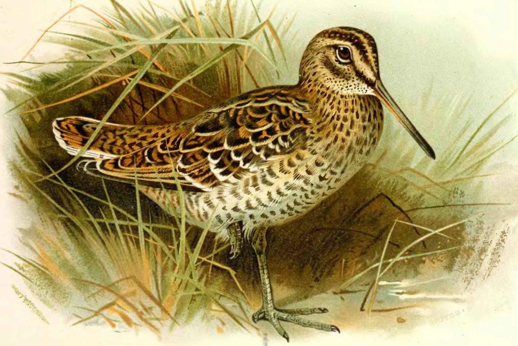 Кулик птица рисунок