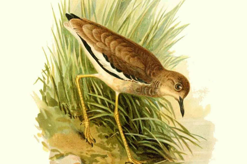 Чайка білохвоста